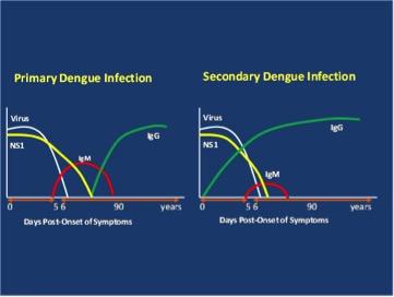 Antikroppsutveckling vid dengueinfektion
